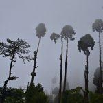 The Tall Trees in Darjeeling